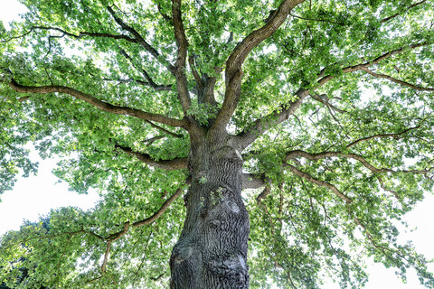 Baum Foto Eiche